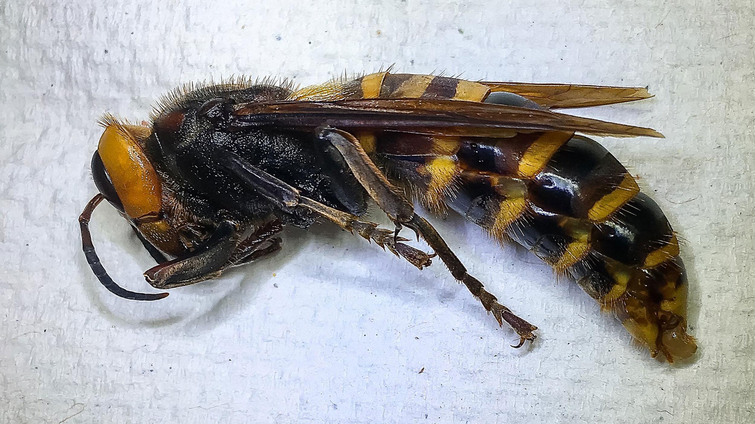 A vespa gigante asiática, chamada de vespa assassina