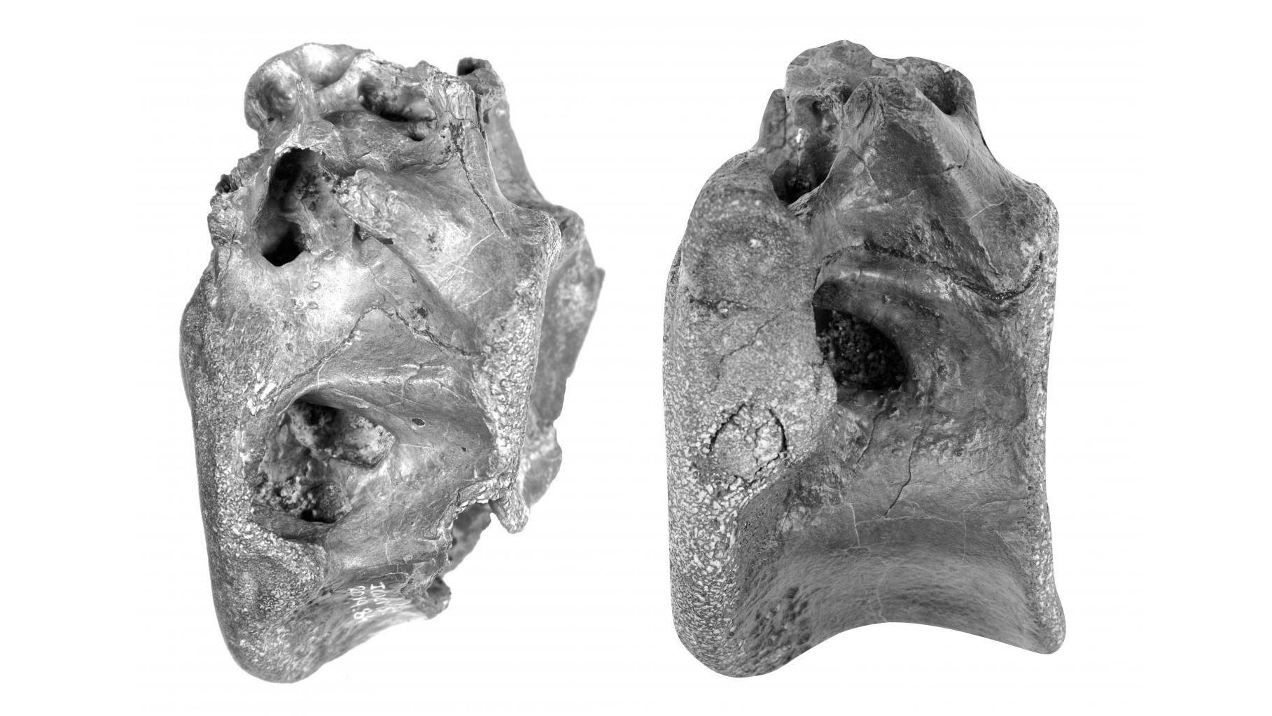 Dois dos quatro ossos descobertos em 2019