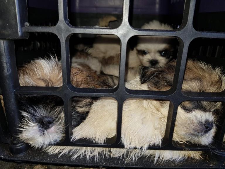 Filhotes de cachorro da raça shih tzu encontrados pela PRF na Bahia