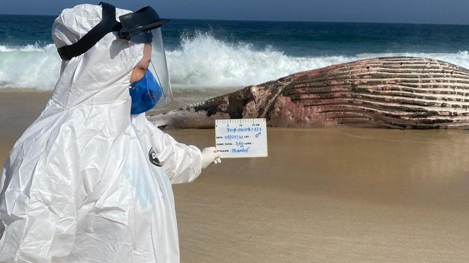 Agentes do Instituto Estadual do Ambiente (Inea) coletaram tecidos da baleia