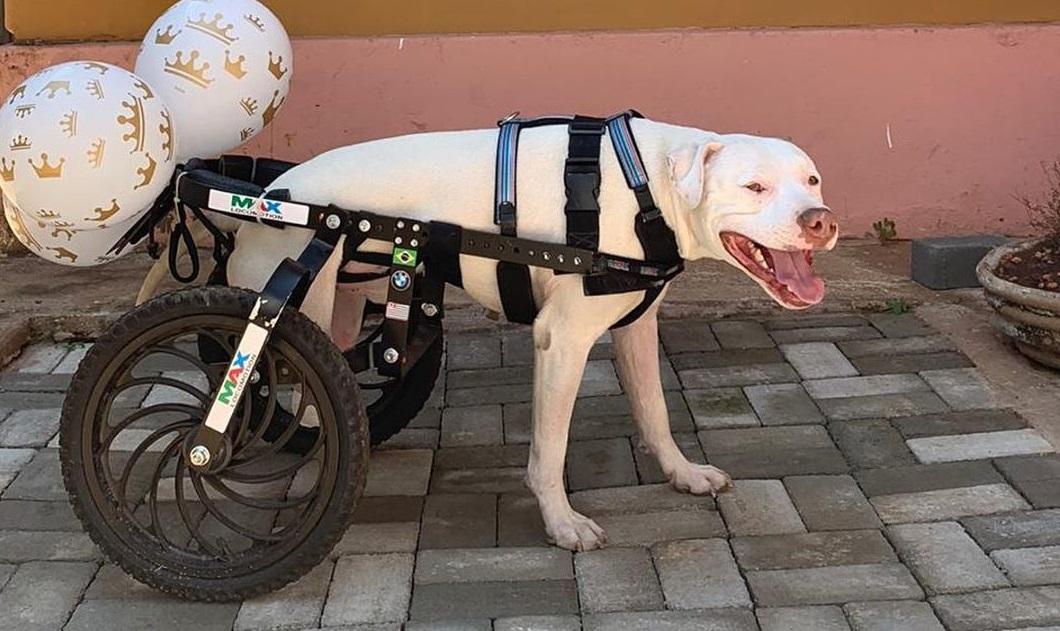 O pitbull Sansão, que ganhou cadeira de rodas adaptada para poder se locomover a