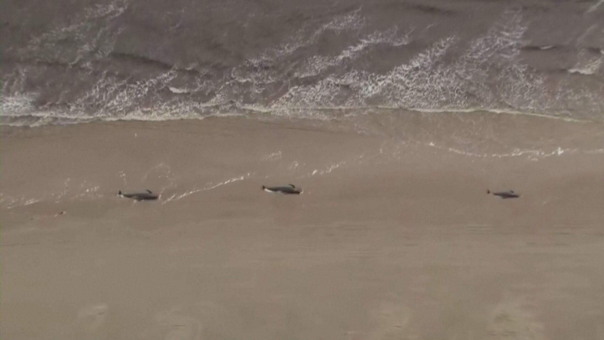 Ao menos 380 baleias morrem encalhadas na ilha da Tasmânia, na Austrália