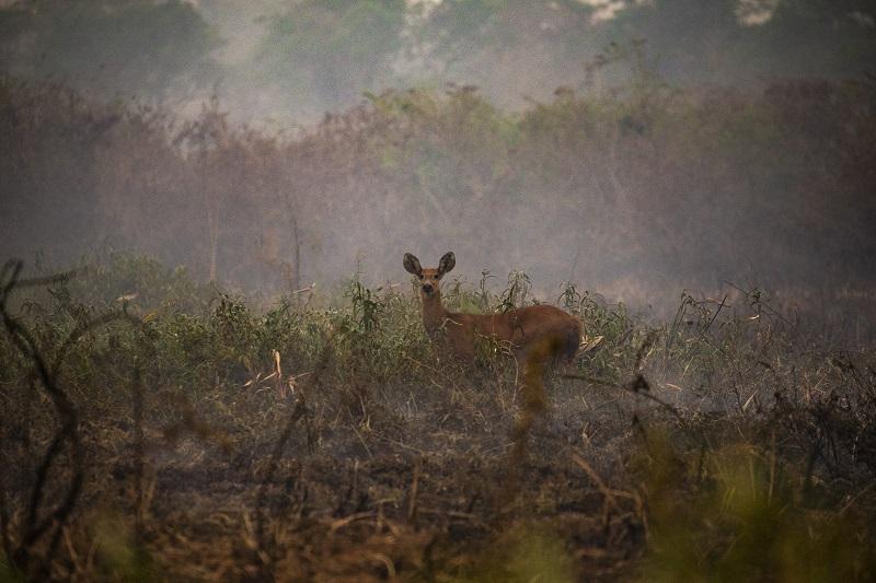 Animal selvagem em meio à fumaça causada pelas queimadas no Pantanal