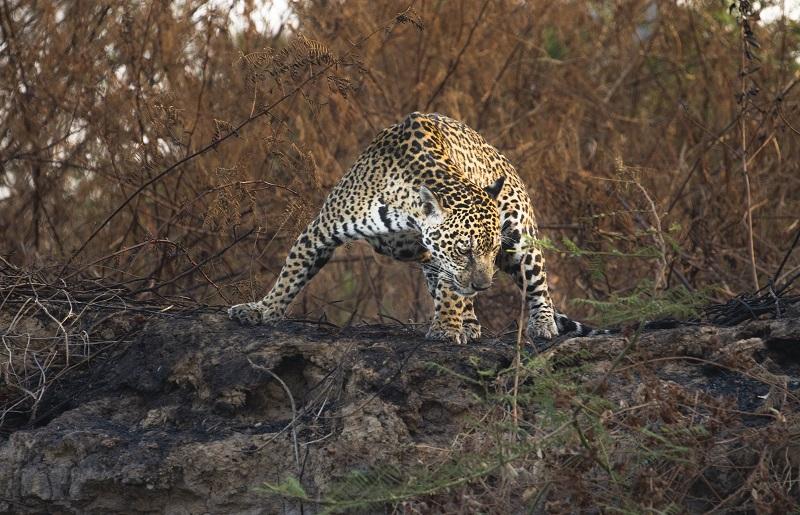 Onça-pintada em região no Pantanal