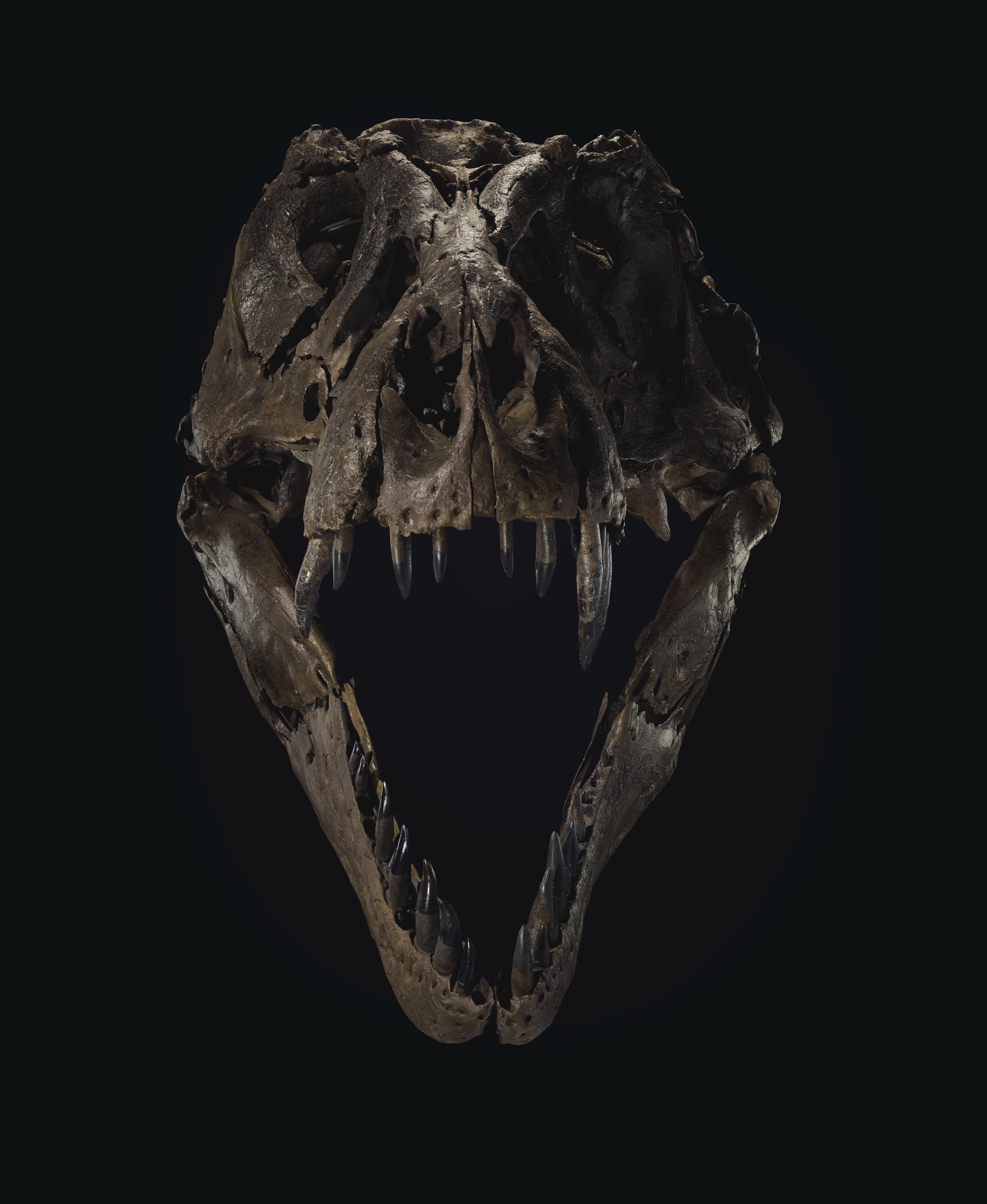 Dinossauro Stan é composto por 188 ossos