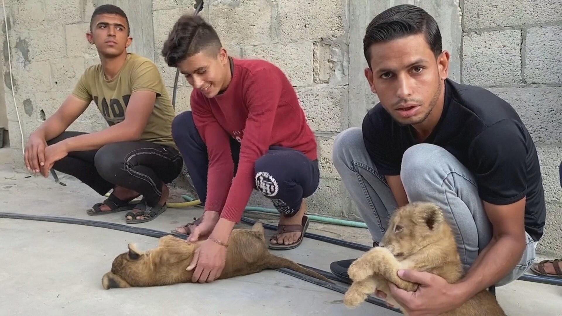 Filhotes de leão são criados em terraçõ de casa em Gaza, no Oriente Médio