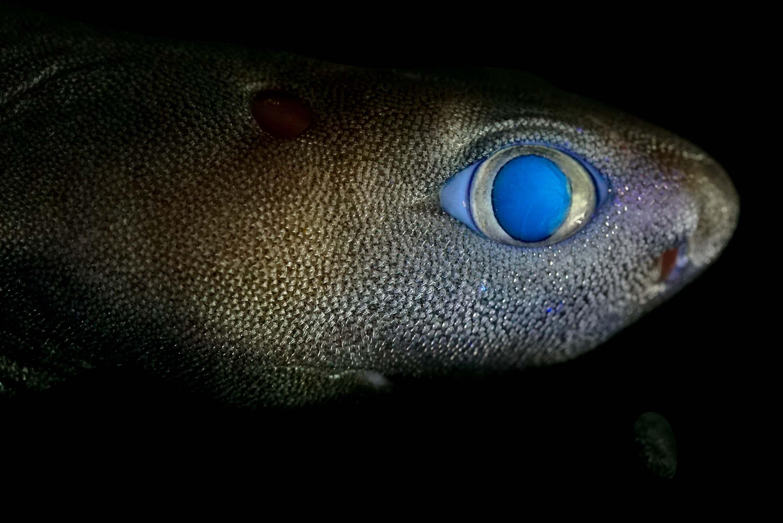Tubarão que brilha