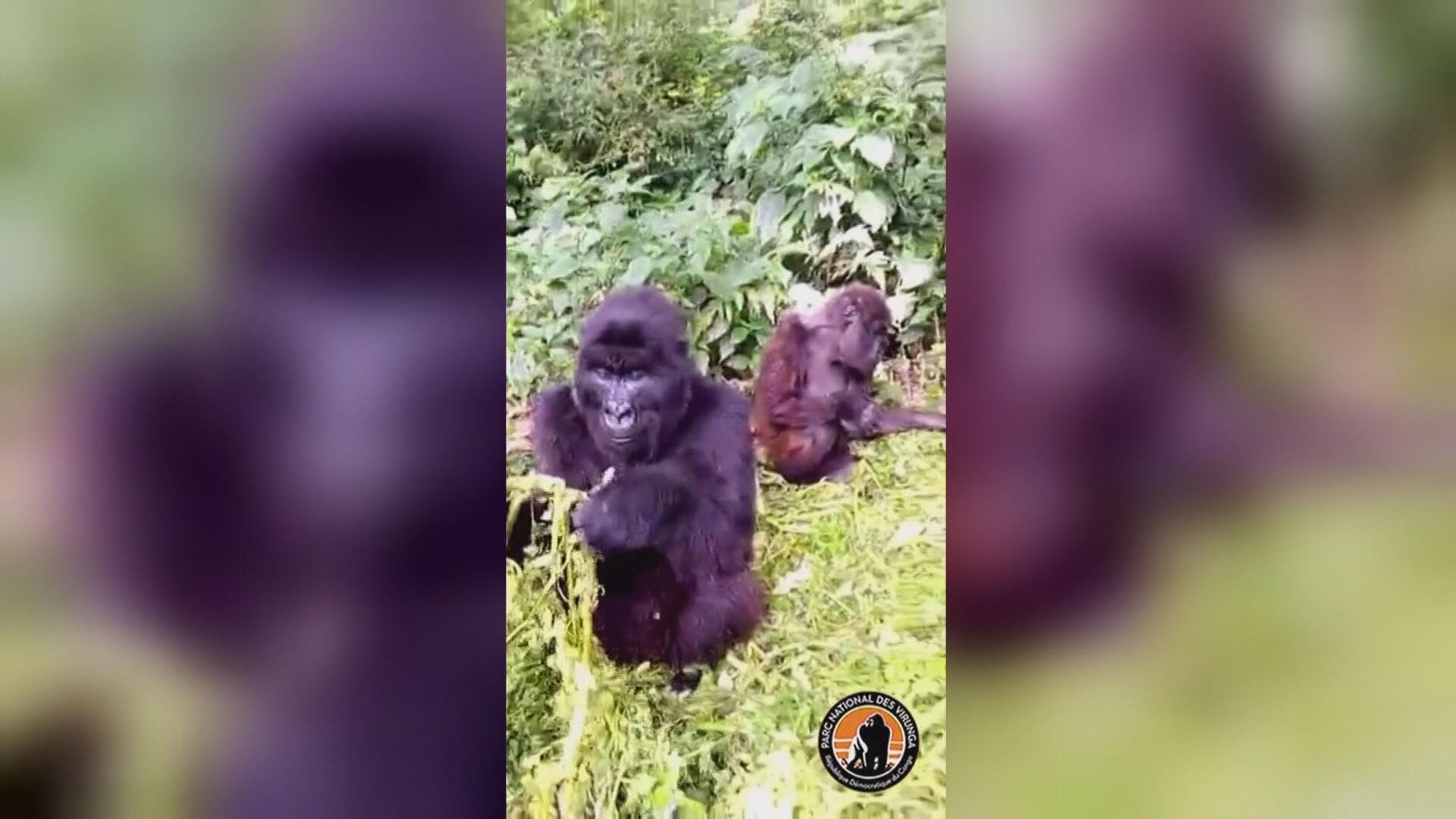 Dois gorilas são flagrados lanchando na República Democrática do Congo