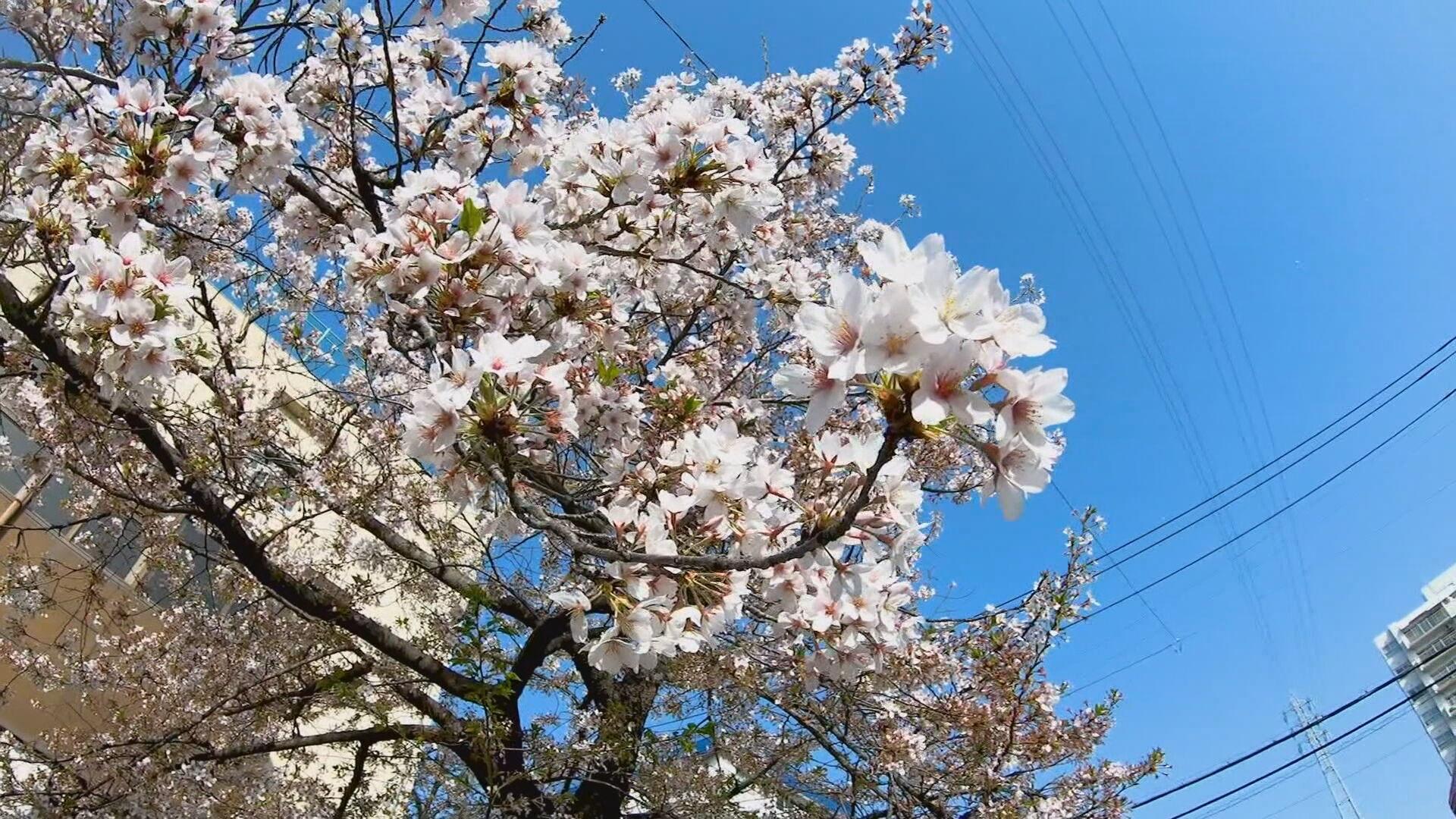 Chegada antecipada das cerejeiras preocupa cientistas