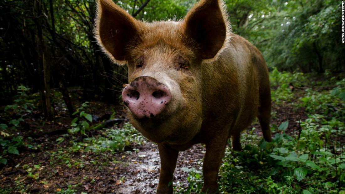 Porcos Tamworth