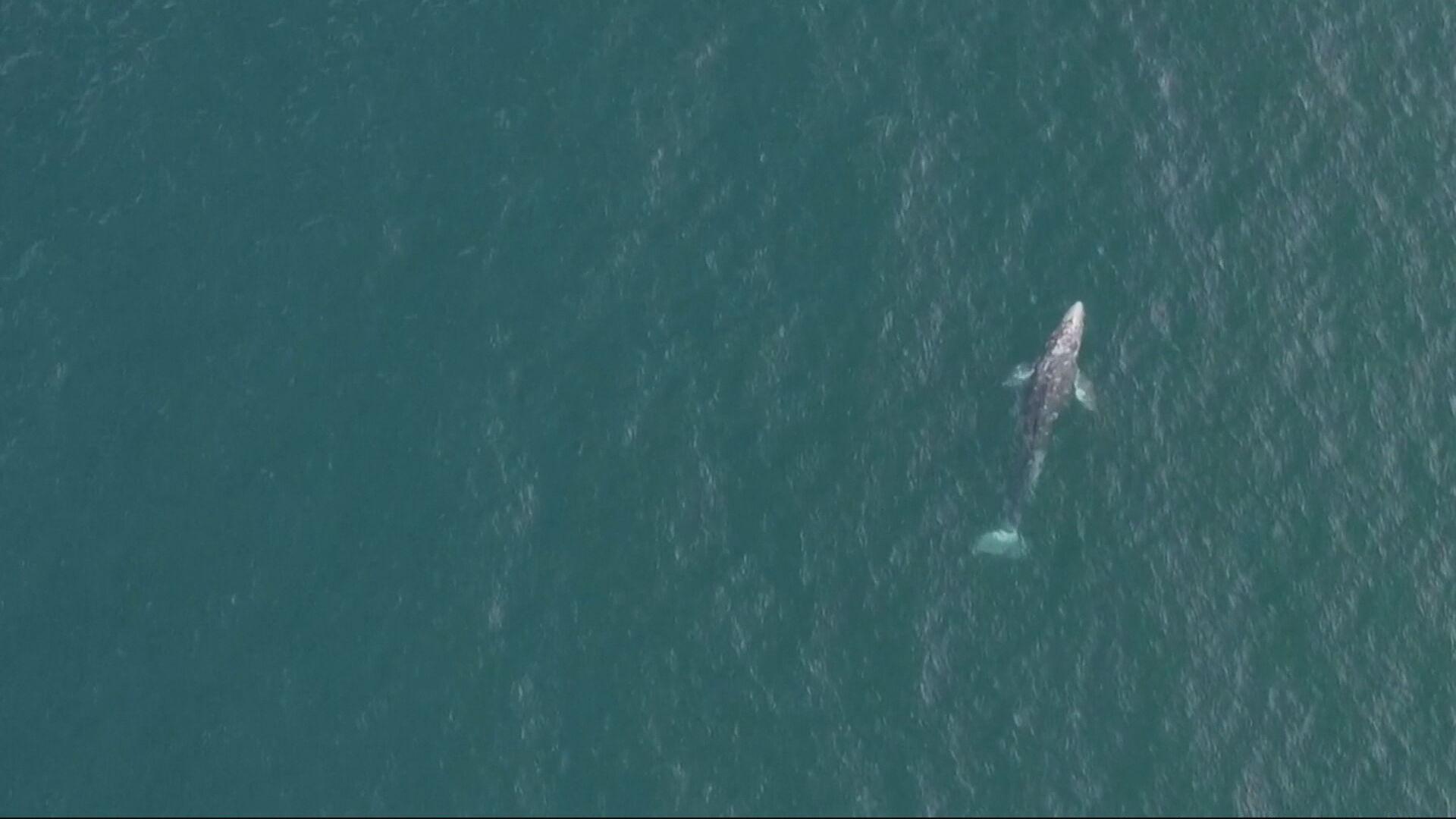 Baleia Wally se afastou de seu habitat natural