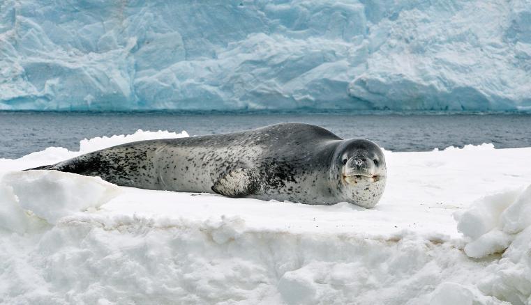foca; antártica