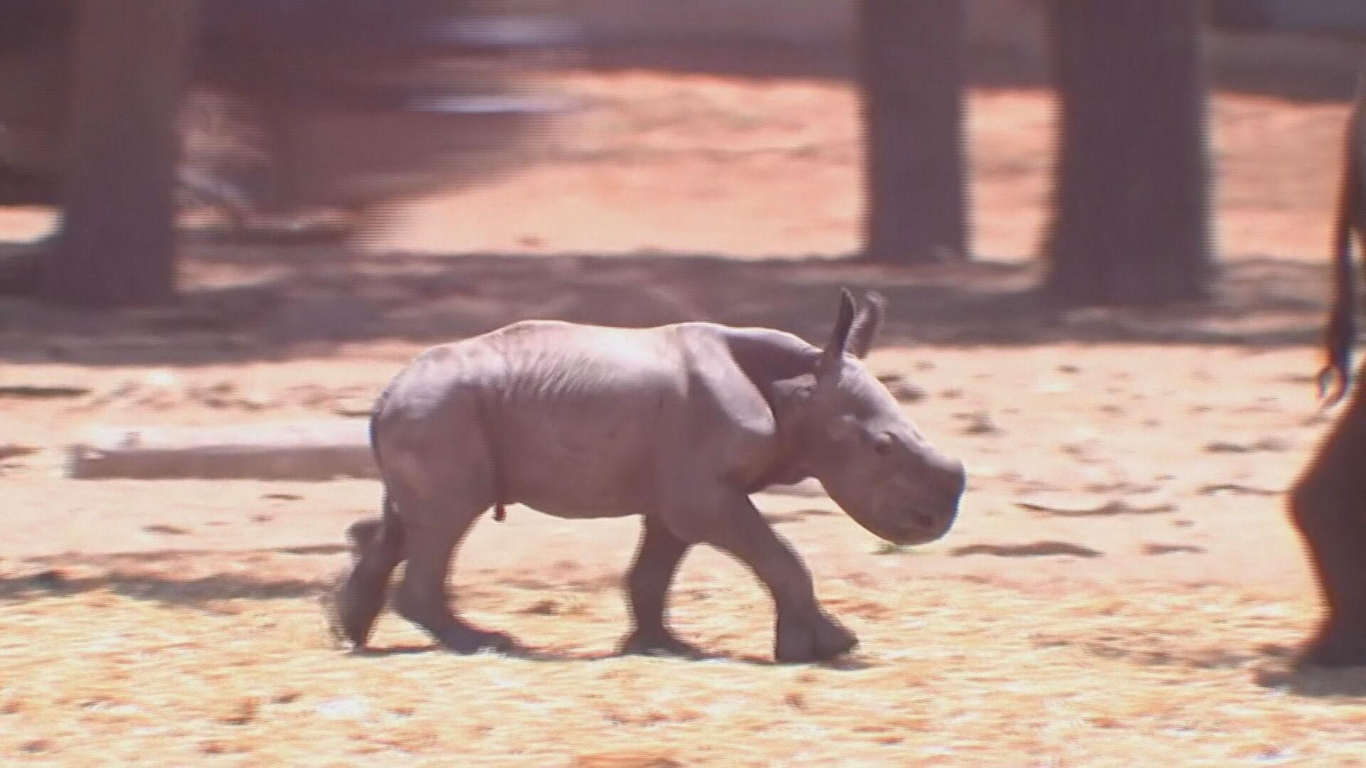 Rinoceronte bebê em zoológico de Israel (06.jun.2021)
