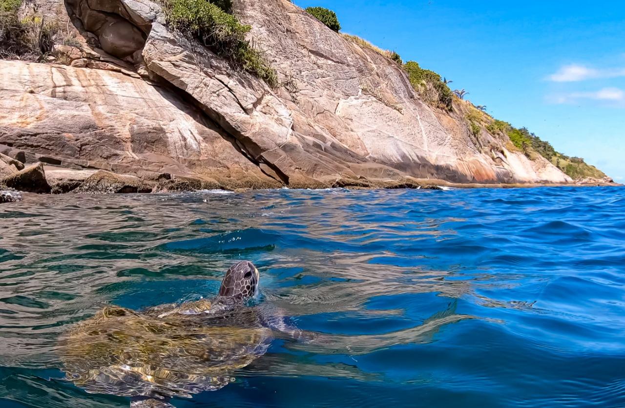 Tartaruga-verde nas Ilhas Cagarras, Rio de Janeiro