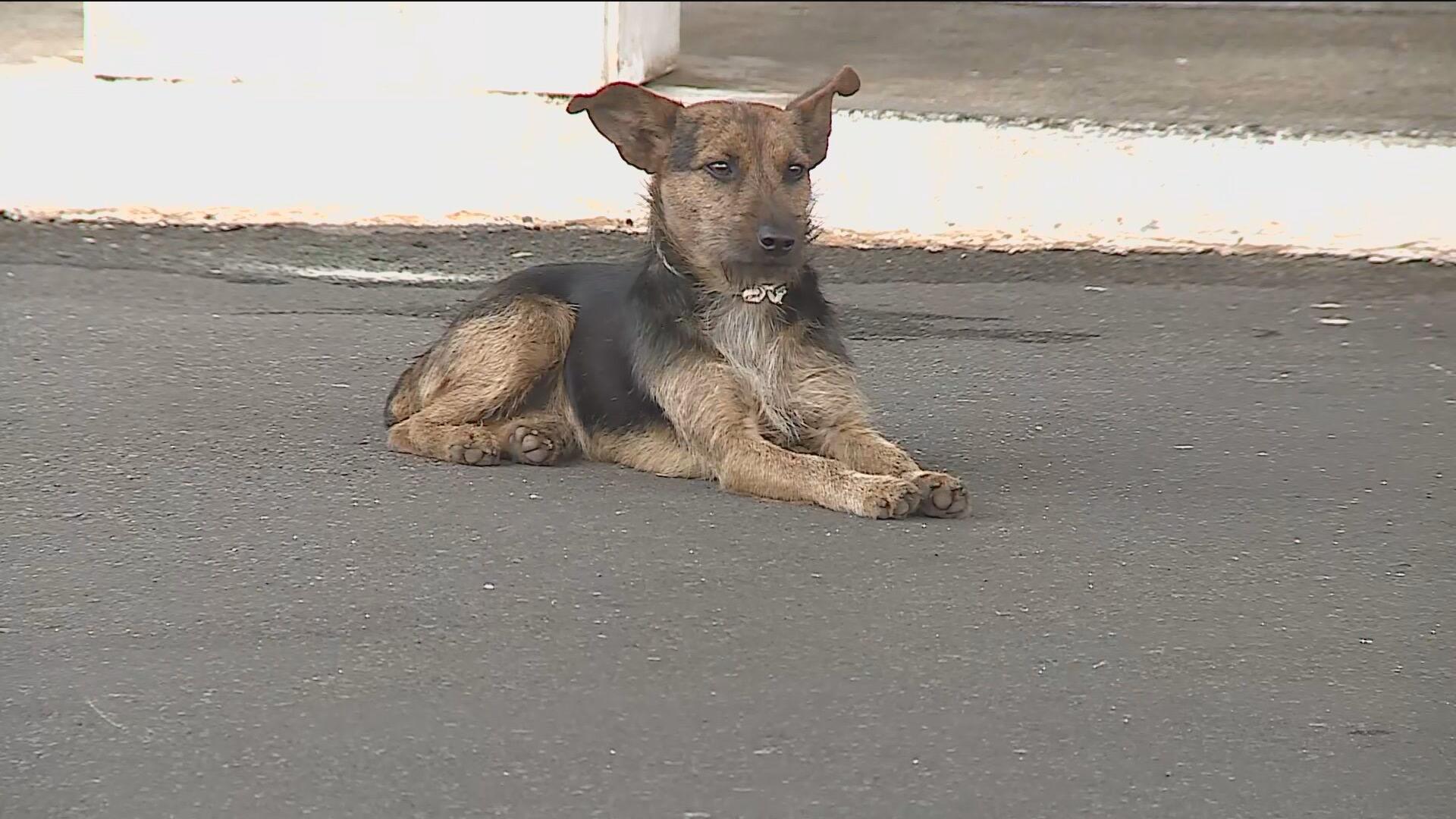 Cachorro conhecido como Alvorinho por ficar na frente do Palácio do Planalto