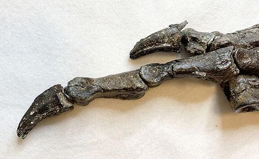 Fóssil do Aratasaurus museunacionali, dinossauro descoberto no Ceará