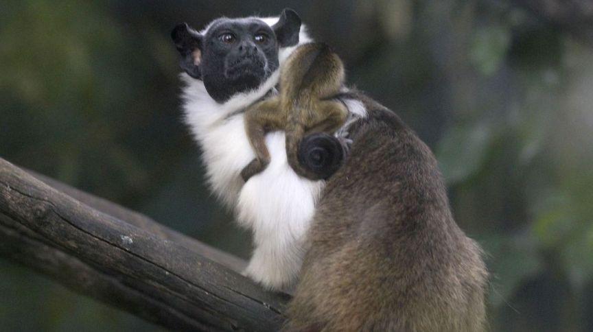 O filhote de sauim-de-coleira nasceu neste mês no Jardim Zoológico de Brasília