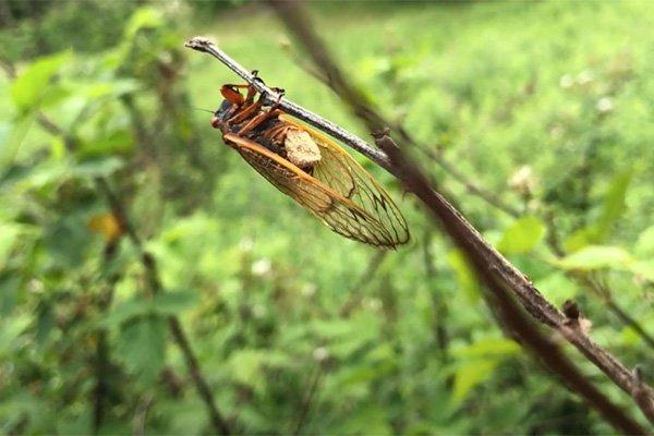 """As """"cigarras zumbis"""" ficam sob a influência do Massospora, um fungo psicodélico que contém propriedades químicas como as que são encontradas em cogumelos alucinógenos"""