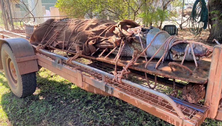 Com cerca de 350 kg, o crocodilo foi capturado por guardas florestais e levado a uma fazenda