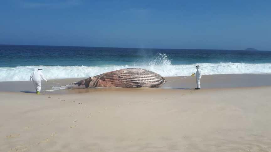 Baleia jubarte macho com 9,6 metros e 15 toneladas foi encontrada já morta na Praia da Restinga, em Maricá