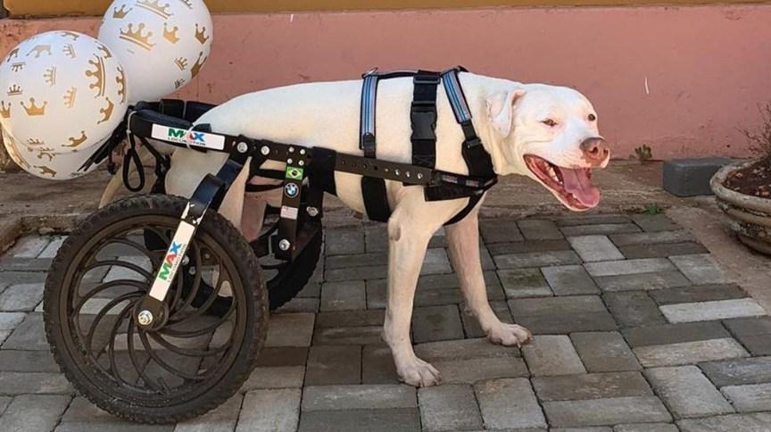 O pitbull Sansão, que ganhou cadeira de rodas adaptada para poder se locomover após ter as patas decepadas