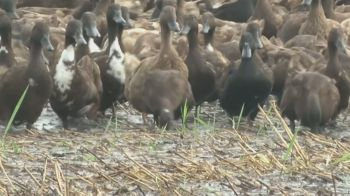 Método envolve 10 mil animais e é considerado comum no país