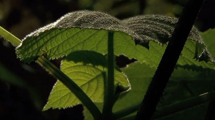 As toxinas recém-descobertas nas árvores Gympie-Gympie foram comparadas às das aranhas