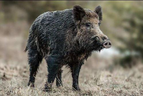Alemanha registra casos de peste suína africana em javalis