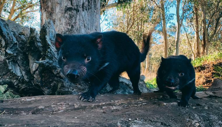 O programa de conservação reintroduziu um total de 26 diabos na Austrália continental.