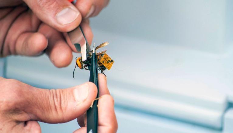 Cientistas no estado de Washington capturam uma vespa-gigante-asiática gigante asiático viva e tentaram marcá-la com um dispositivo de rastreamento para achar o ninho.