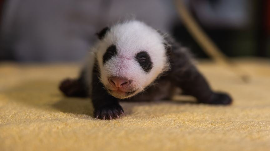 Filhote de panda gigante nascido é um macho
