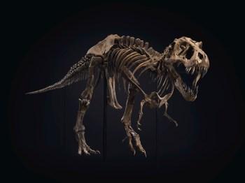 Os ossos são do dinossauro Stan, que viveu há cerca de 67 milhões de anos