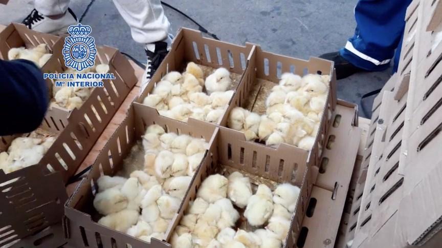 Polícia de Madri descobriu milhares de pintinhos em caixas