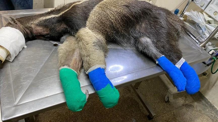 Tamanduá recebe tratamento com pele de tilápia