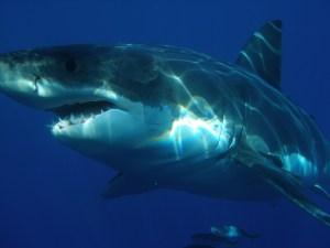 Pesquisa identifica motivos que levam tubarões a morder humanos; entenda