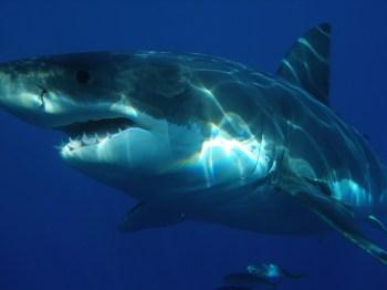 Segundo pesquisadores australianos, visão imprecisa desses animais pode confundir pessoas com focas e leões marinhos