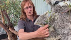 Austrália perdeu um terço de seus coalas nos últimos três anos