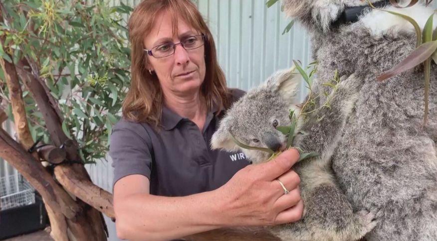 Coalas estão sendo tratados por voluntários em Sydney