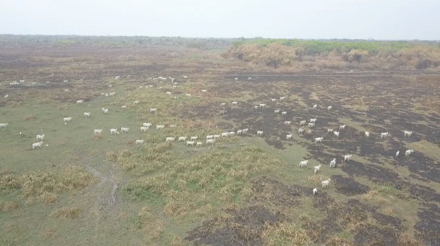 Criação de gado na região do Pantanal
