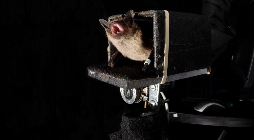 Pesquisas sobre o padrão de comportamento dos morcegos podem auxiliar humanos