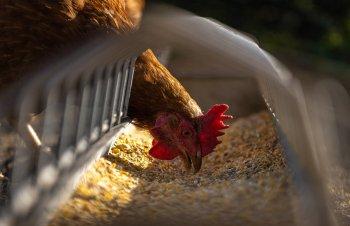 Avicultores holandeses têm sido orientados a manter as aves em ambientes fechados até um novo aviso, para evitar a transmissão da doença