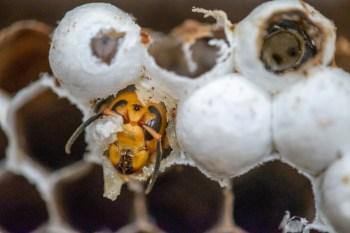 Vindas da Ásia, elas prosperam no clima mais quente e atacam colmeias de abelhas