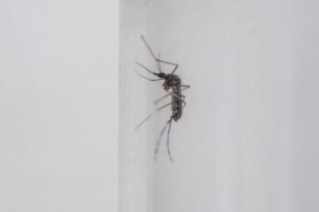 O Aedes está no Brasil há mais de 100 anos. Em alguns momentos, já chegou a ser erradicado