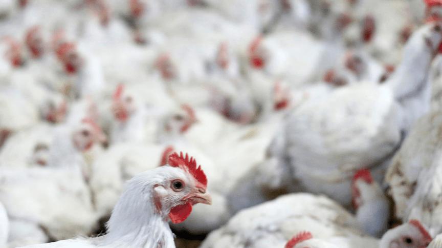 Agronegócio: Granja de frangos no Paraná
