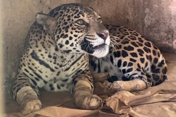 Animal viverá em ambiente criado especialmente para sua recuperação. Instituto Nex explica que perda dos tendões a impedem de voltar a caçar
