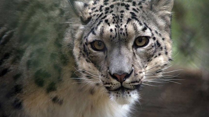 Um leopardo-das-neves fêmea chamado NeeCee foi contaminado pela Covid-19 no zoológico de Louisville