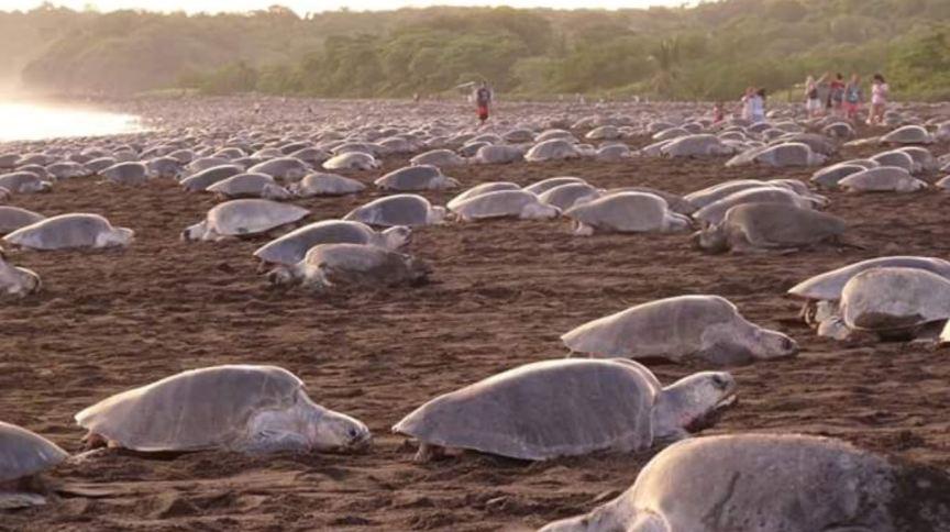 Comércio ilegal de ovos é amaça para reprodução de tartarugas