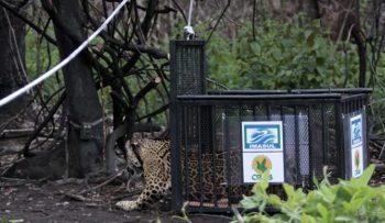 Animal foi solto na Serra do Amolar, exatamente no local onde foi encontrada, com 87 quilos e recuperada das queimaduras