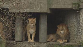 Impacto econômico forçou decisão do parque de Amsterdã. Duas leoas e um leão serão mandados para outro zoológico, na França.