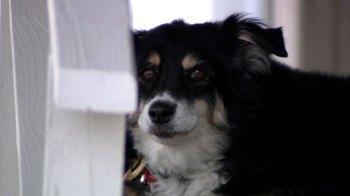 Lulu, uma border collie de Nashville, no Tennessee, foi beneficiada pelo testamento de seu antigo dono, Bill Dorris, que morreu no ano passado